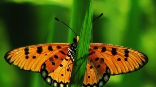 butterfly-ccflcr-pranav
