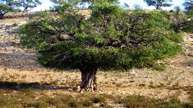 argan-tree-ccflcr-tine72