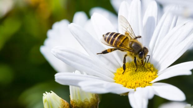 neonicotinoid pesticides are dangerous for honeybees