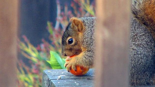 squirrel-ccflcr-deb-roby
