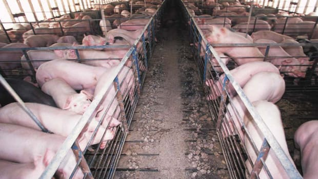 Smithfield Foods Ordered to Pay Nearly $500 Million Over Hog Farm Pollution in North Carolina