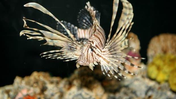 lionfish-ccflcr-nostri-imago1