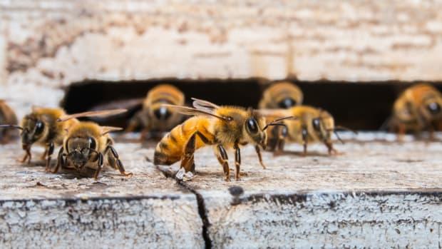 Ortho Nixes Neonicotinoids to Help Save the Bees