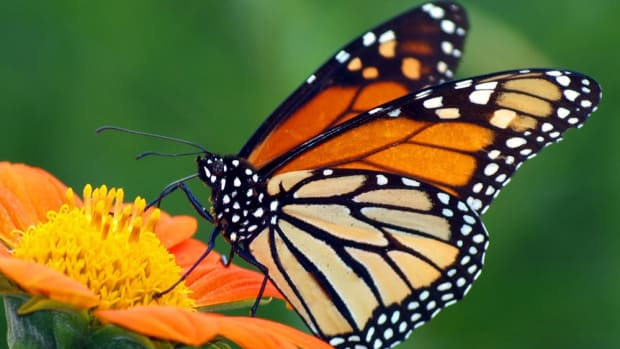 Are Monarch Butterflies Finally Coming Home?