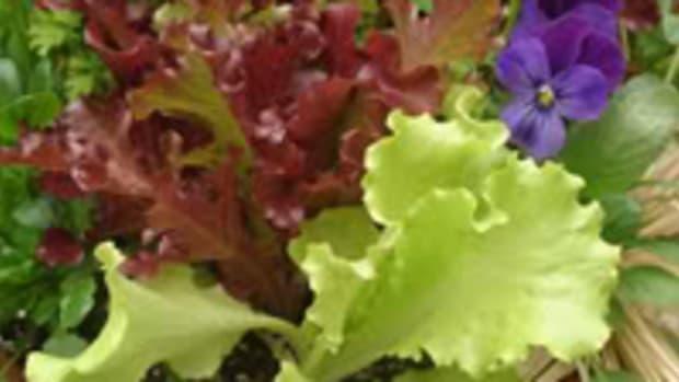 lettuceandherbs1