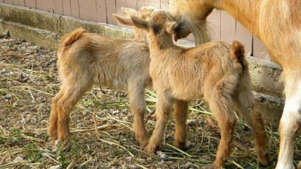 goats-ccflcr-leoncillo