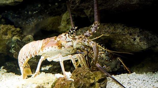 lobster-ccflcr-GregoryMoine1