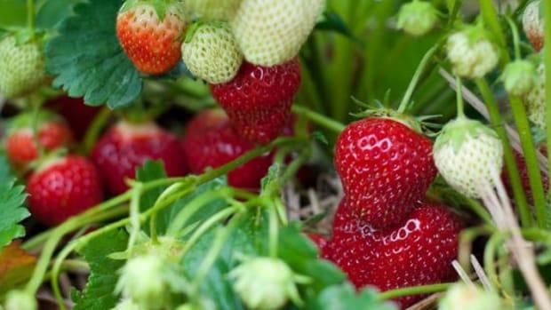 strawberryplant-ccflcr-jronaldlee1