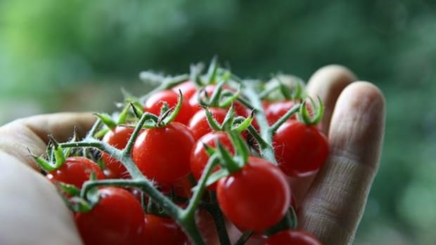 tomatoes-ccflcr-qmnonic