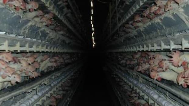 chickenfarm-ccflcr-aleutia1