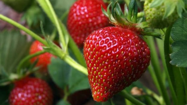 Learn How to Grow Strawberries (It's easier than you think)