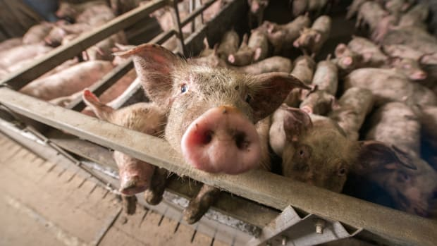 In Animal Rights Victory, Utah Federal Judge Calls 'Ag-Gag' Laws Unconstitutional