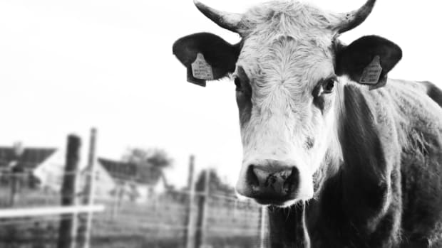 antibiotics in livestock feed double methane gas