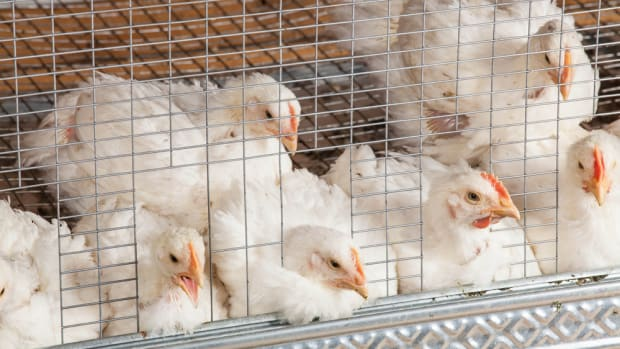 Tyson Foods Says It's Phasing Out Antibiotic Use in Chickens