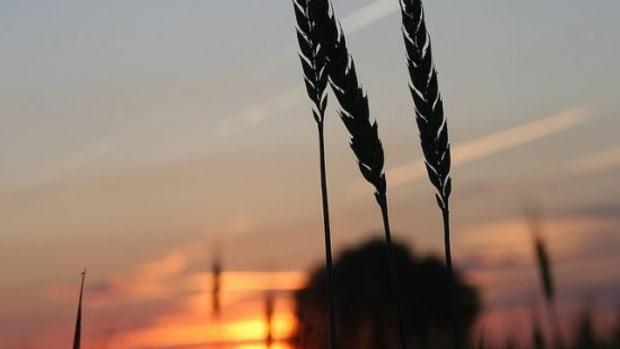 wheat-ccflcr-jennydowning