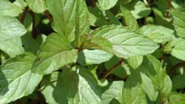 organic-chocolate-mint1