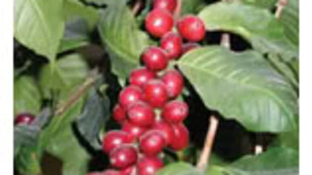coffeeplant1