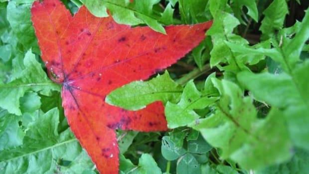 redleaf-ccflcr-themissiah