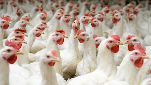 2 Major Food Suppliers Adopt Widespread Animal Welfare Policies for Chickens