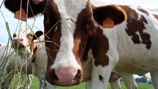 a brown-white dairy cow looking curiously at the camera