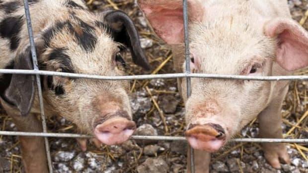 pigs-ccflcr-muffet