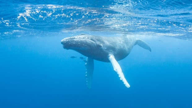 Think Twice Before Taking That Krill Oil, If You Love Whales, That Is