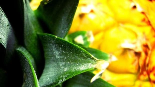 pineapple_ccfler_Luz_Adriana_Villa_A
