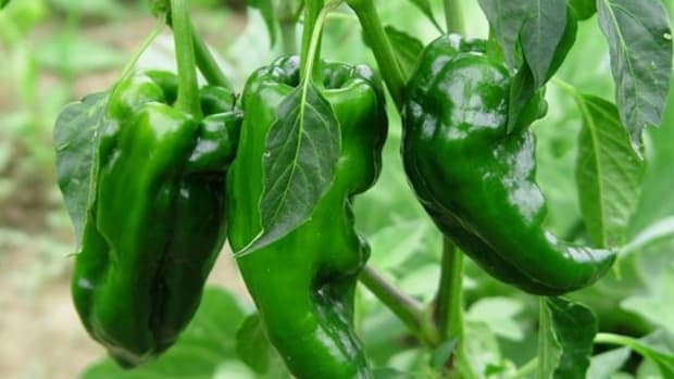 ancho-peppers