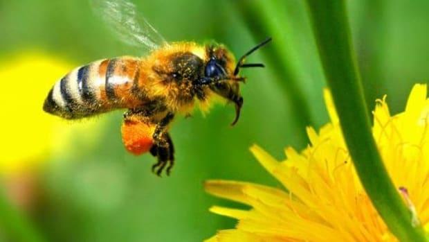 honeybee-ccflcr-autan