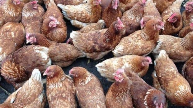 chickens-ccflcr-aprilskiver