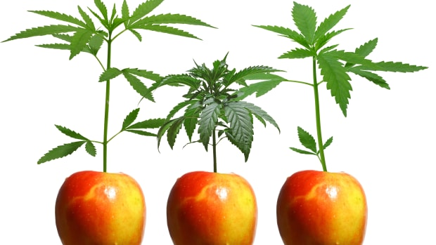 Munchie Marijuana Effects: It's All In Your Head (Literally)