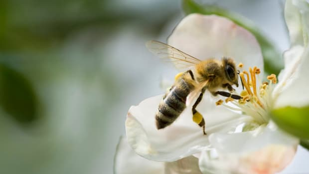 Europe Bans Bee-Killing Neonicotinoid Pesticides