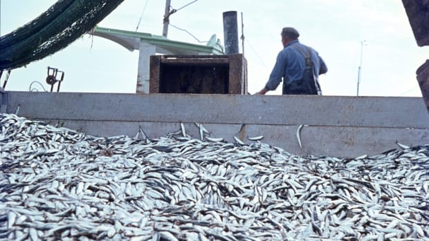 Effects of Overfishing Could Be Reversed -- If Fishing Is Halted for 5 Years