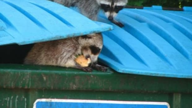 raccoonsfoodwaste-ccflcr-christinawelsh