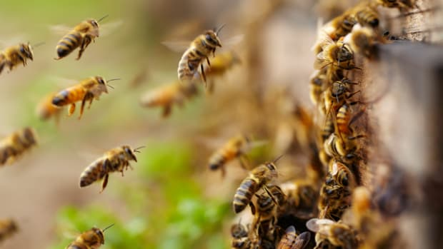 After Years of Decline Honeybee Populations on the Rise, Sort Of, Finds New Study