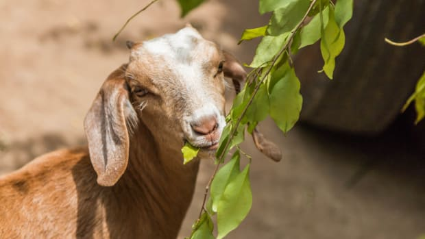 Rent-a-Goat to eat your landscape