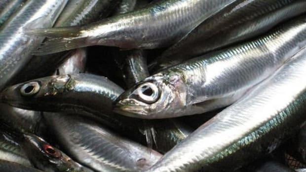 sardine-ccflcr-rockyeda