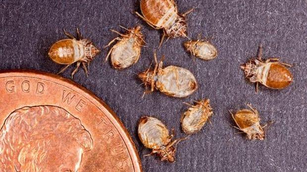 bedbugs-ccflcr-usdagov