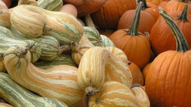 wintersquash-ccflcr-dyogi