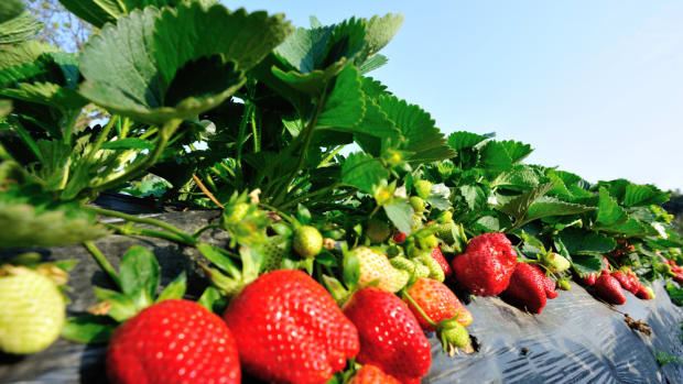 California's Strawberry Fields Produce Pesticide Drift Endangering Ventura County Schools