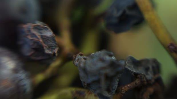 raisins-ccflcr-otto-phokus