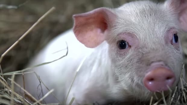 Undercover Animal Farm Investigator Turns the Camera on Himself, and You'll be Glad He Did