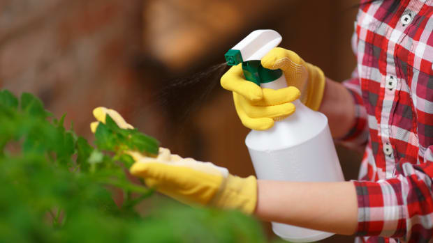 spraying tomatoes with organic pesticides