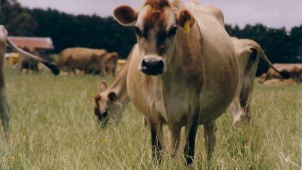 cow-ccflcr-newtownia