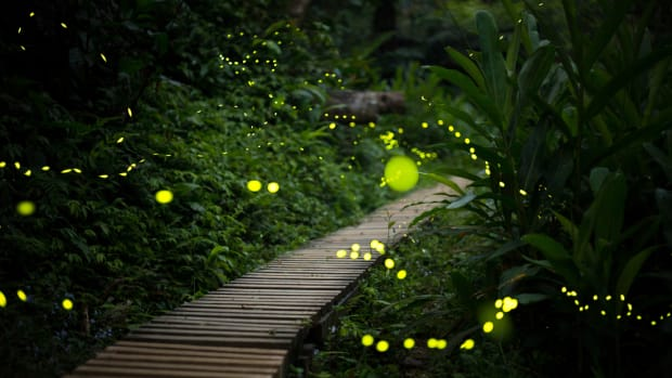 The firefly may disappear. Here's what you can do to help.