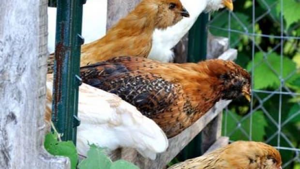 organicchicken-ccflcr-WillMerydith1