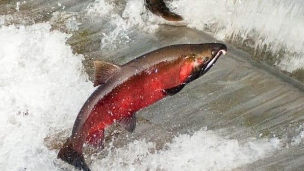 salmonriver-ccflcr-Soggydan
