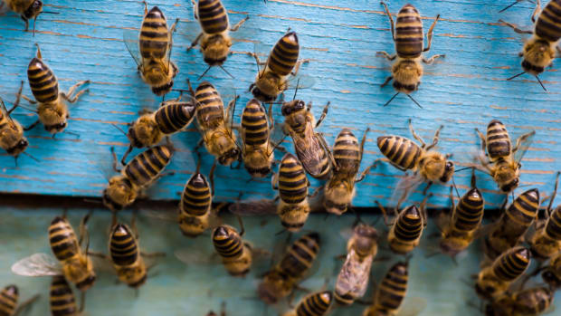 Controversial Insecticide Significantly Decreases Fertility in Honeybees, New Study Finds