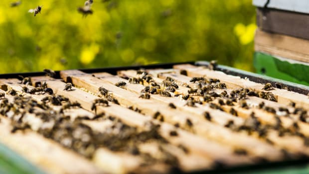 honeybee colony