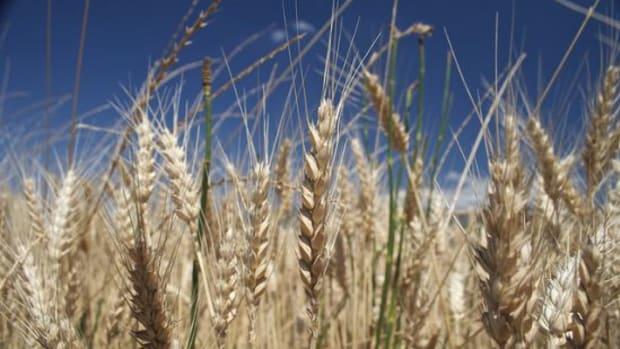 wheatfield-ccflcr-eliasdaniel